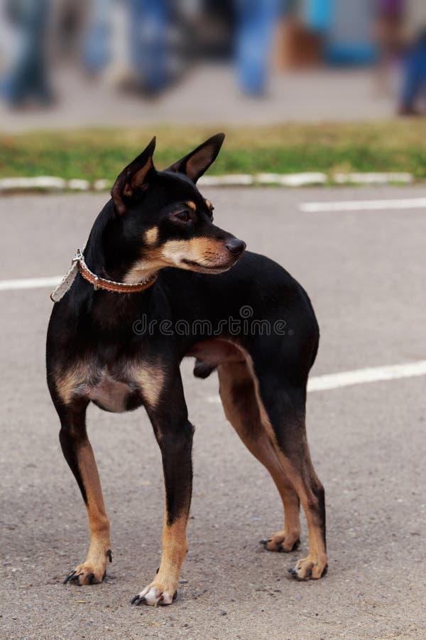 Hundavel Manchester Toy Terrier royaltyfria foton