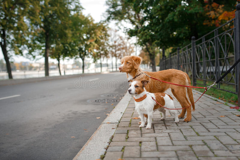 Hundavel Nova Scotia Duck Tolling Retriever och Jack Russell Terrier royaltyfri bild