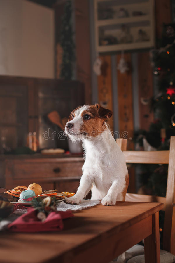 HundavelJack Russell Terrier ferie, jul arkivbilder
