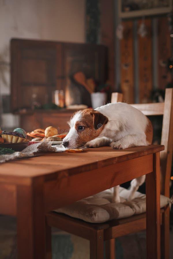 HundavelJack Russell Terrier ferie, jul fotografering för bildbyråer