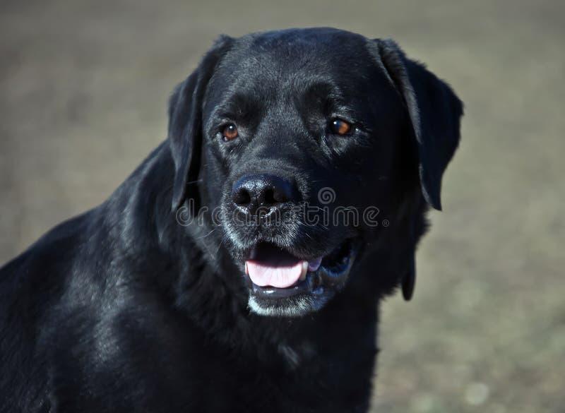 Hundavellabrador med en svart lagfärg arkivfoto