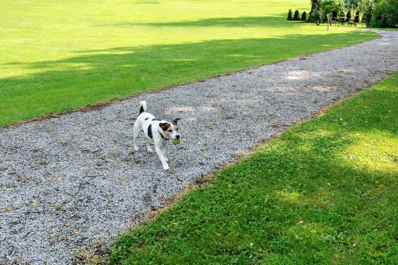 Hundaveln Jack Russell går till ägaren med bollen i dess mun i parkerar royaltyfri fotografi