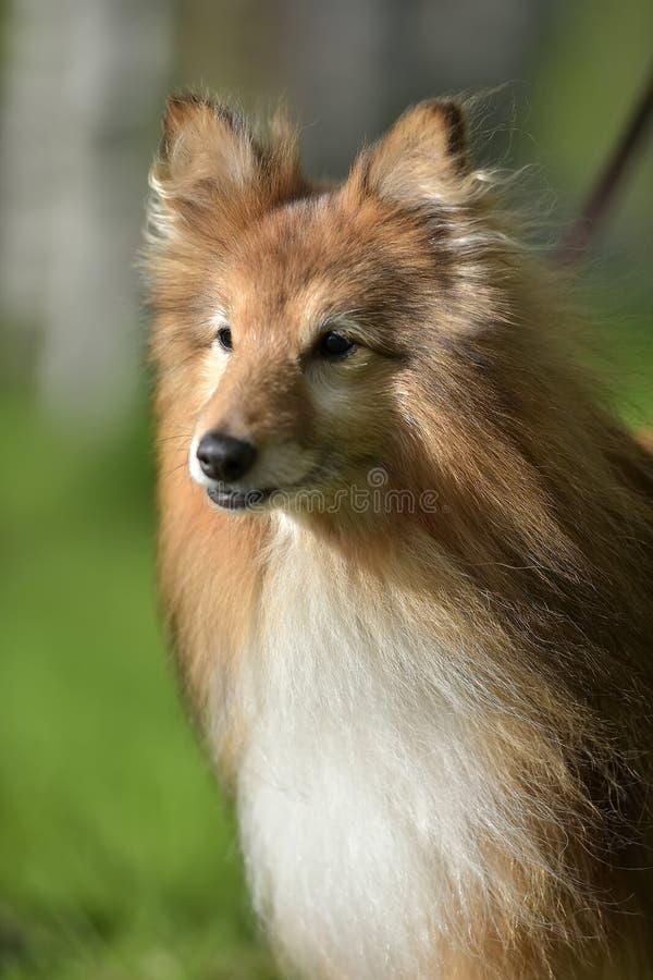 Hundaveln Sheltie arkivfoton