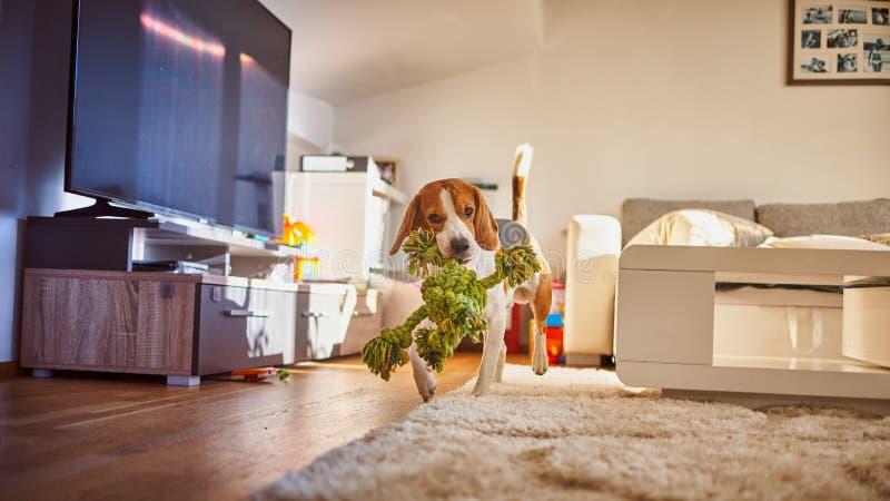 Hundbeagle som inomhus hämtar ett grönt rep royaltyfri bild