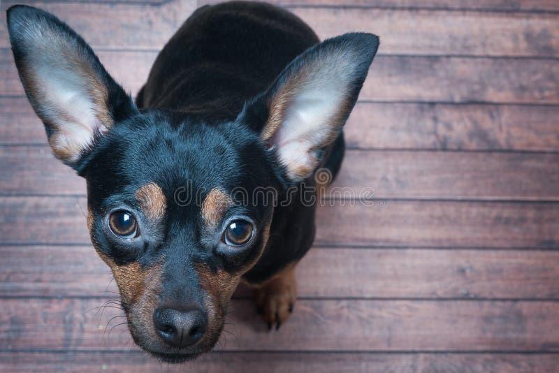 Hundblickarna med en be ögonkast arkivfoton