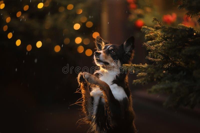 HundBorder collie att vinka som är hans, tafsar Husdjur i aftonstaden fotografering för bildbyråer