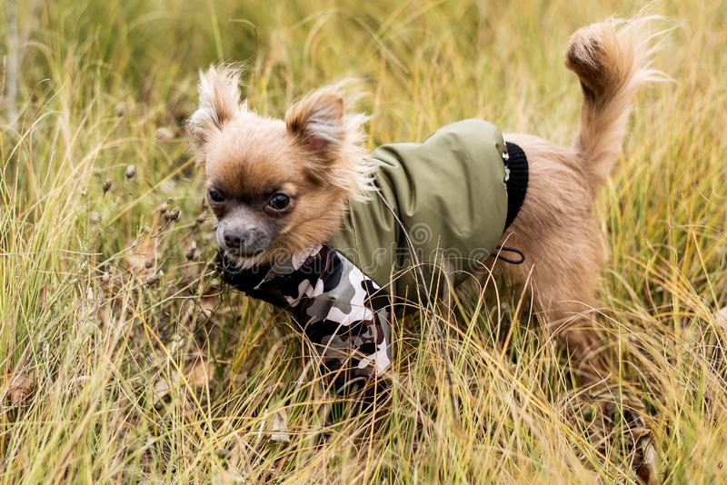 HundChihuahua Hund som går i dåligt höstväder V?rme kl?der f?r hundkappl?pning royaltyfri foto