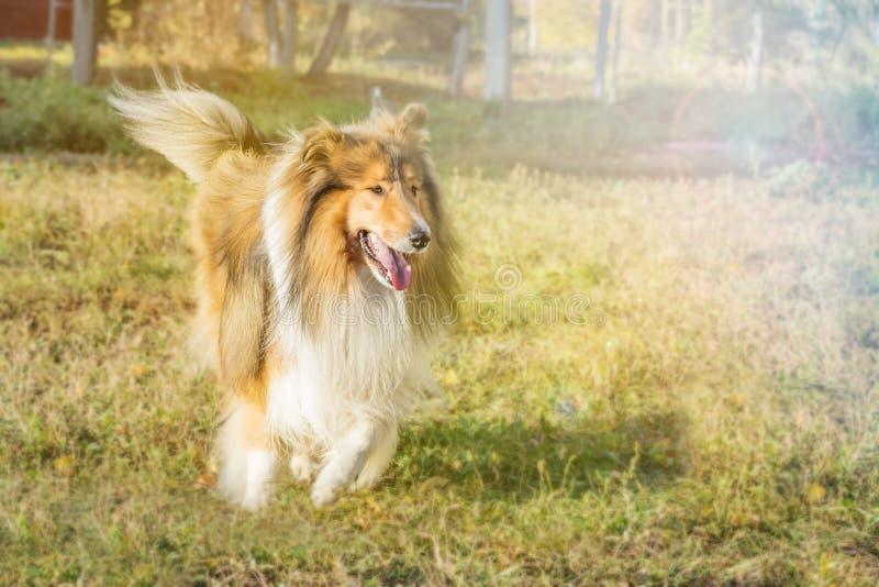 Hundcollie i en parkera arkivbild