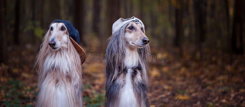 Hunde, Afghanen als Jugendliche, Rapper stockfoto