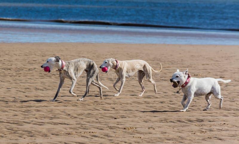 Hunde auf einem Strand lizenzfreie stockfotos