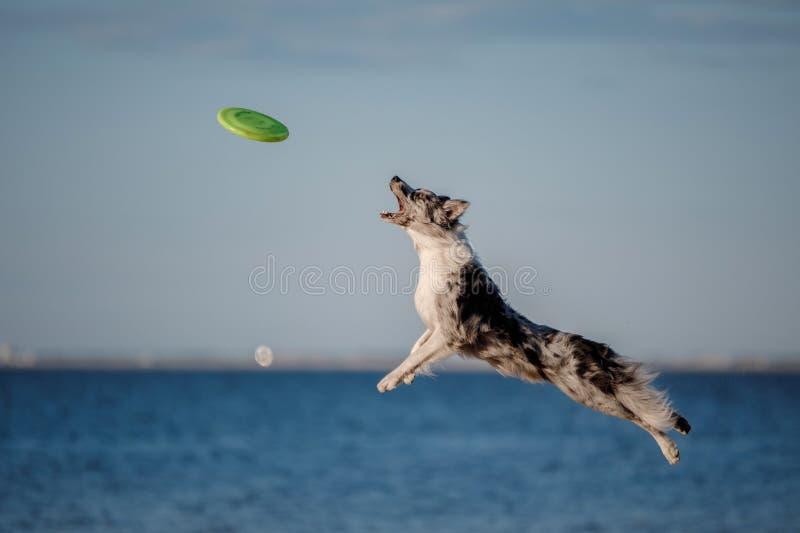Hunde-border collie-Sprung stockfotos