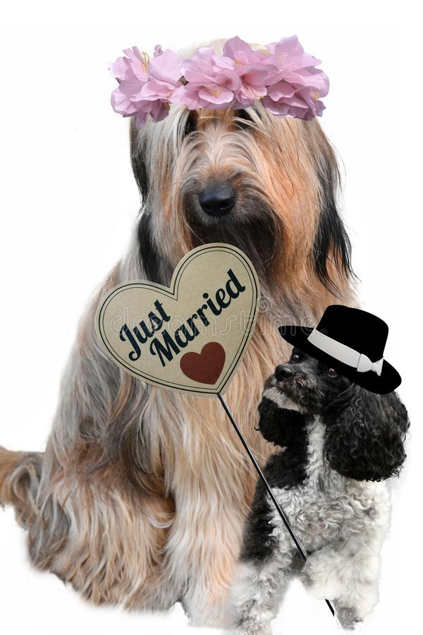 Hunde in der Liebe Gerade verheiratetes Paar lizenzfreies stockbild