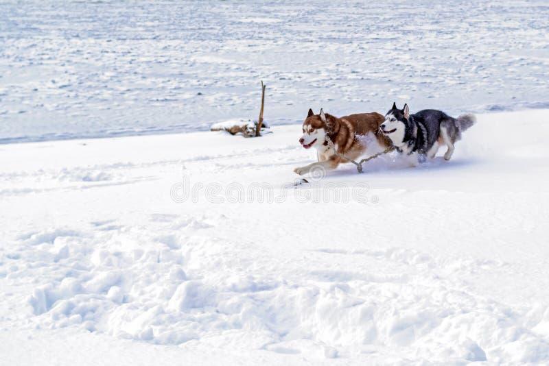 Hunde des sibirischen Huskys, die schnell durch den Schnee laufen Zwei heisere Hunde laufen gelassen in dem gefrorenen Winterfluß lizenzfreie stockfotografie