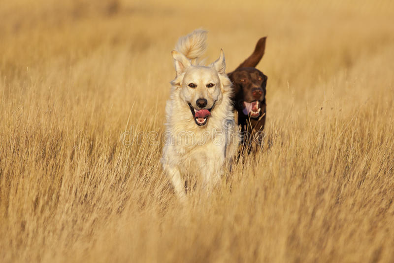 Hunde, die an der goldenen Stunde laufen lizenzfreie stockfotos