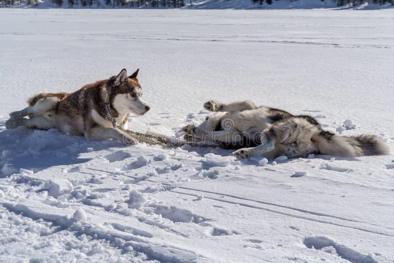 Hunde, die im Schnee spielen und liegen Die Hunde des sibirischen Huskys haben Spaß kämpfend auf Winterweg stockfoto
