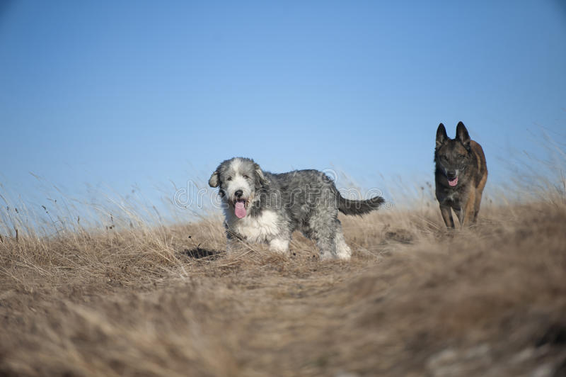 Hunde, die in Natur gehen stockfotografie