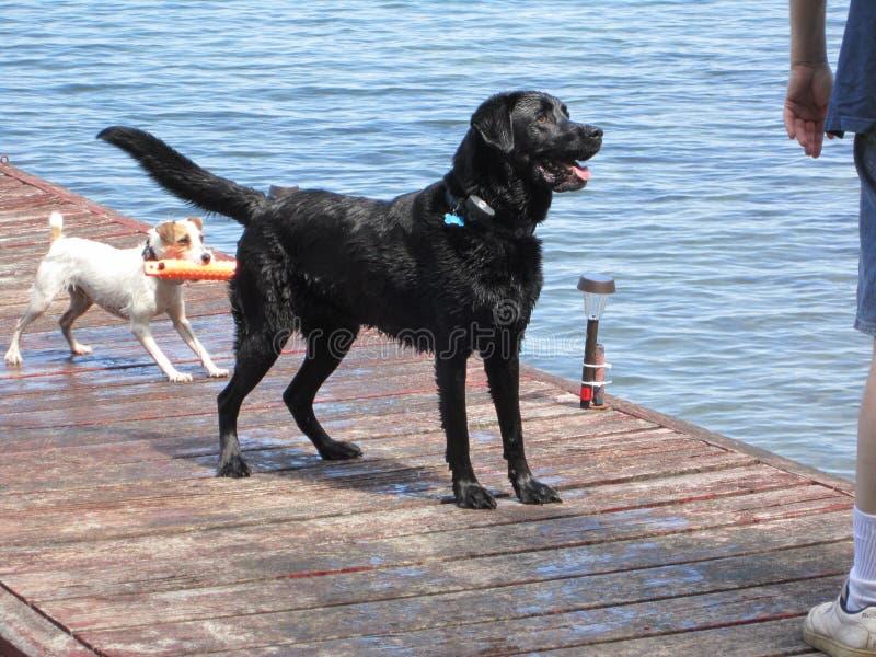 Hunde, die Reichweite im Wasser spielen lizenzfreies stockfoto