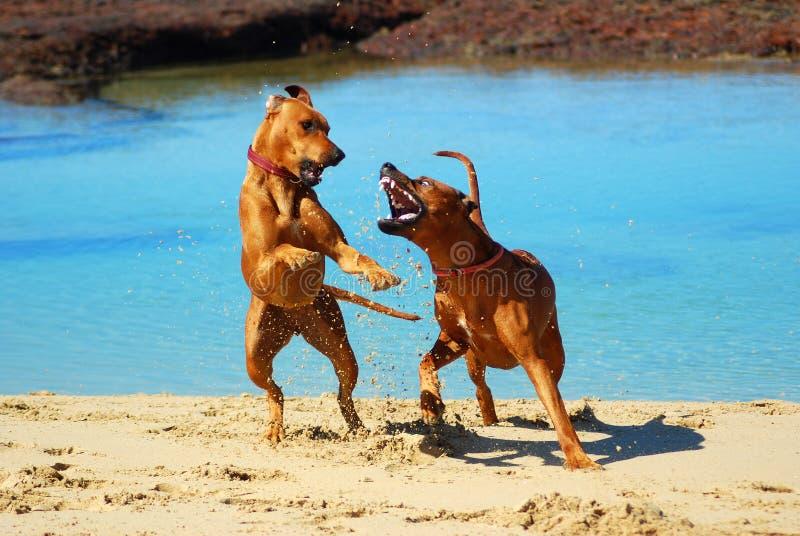Hunde, die am Strand kämpfen stockfotografie