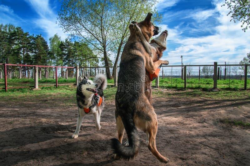 Hunde, die zusammen nicht angeleint spielen Fuuny Kampf des sibirischen Huskys mit großem Schäferhund Glückliche Hunde springen u stockbilder