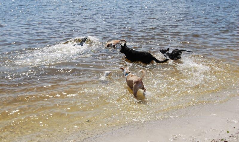 Hunde im Wasser stockfoto