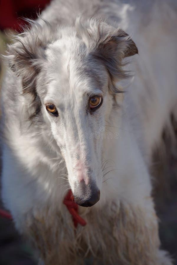 hunde Russischer Jagdhund lizenzfreie stockbilder