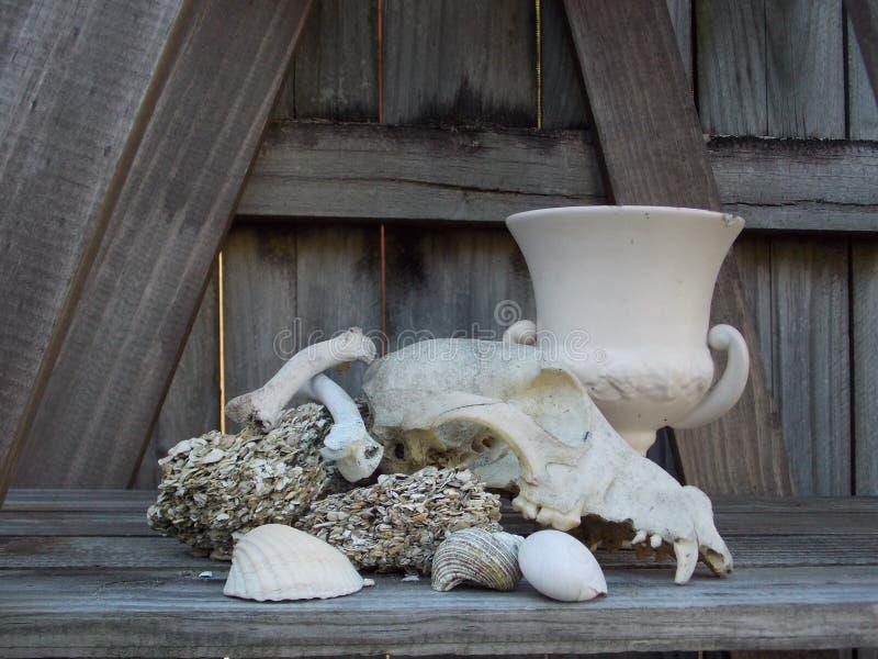 Hunde- Schädel mit coquina u. Oberteilstillleben stockbild