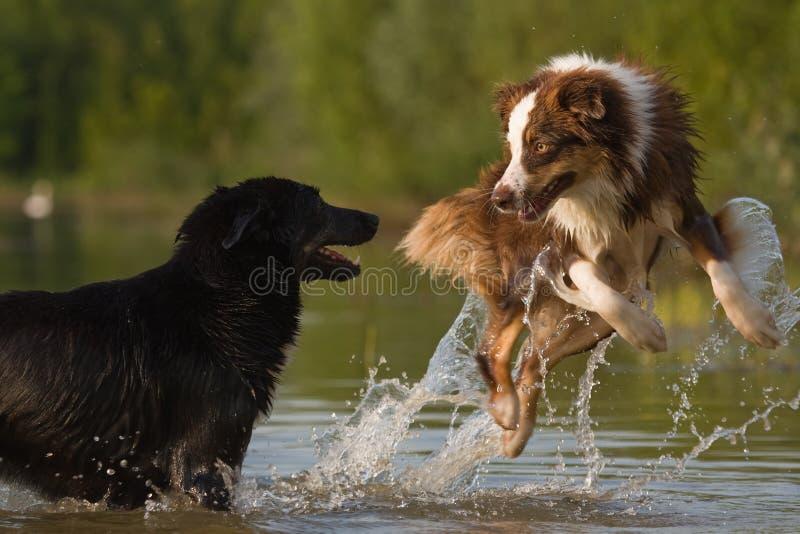 Hunde springen in Wasser lizenzfreie stockfotografie