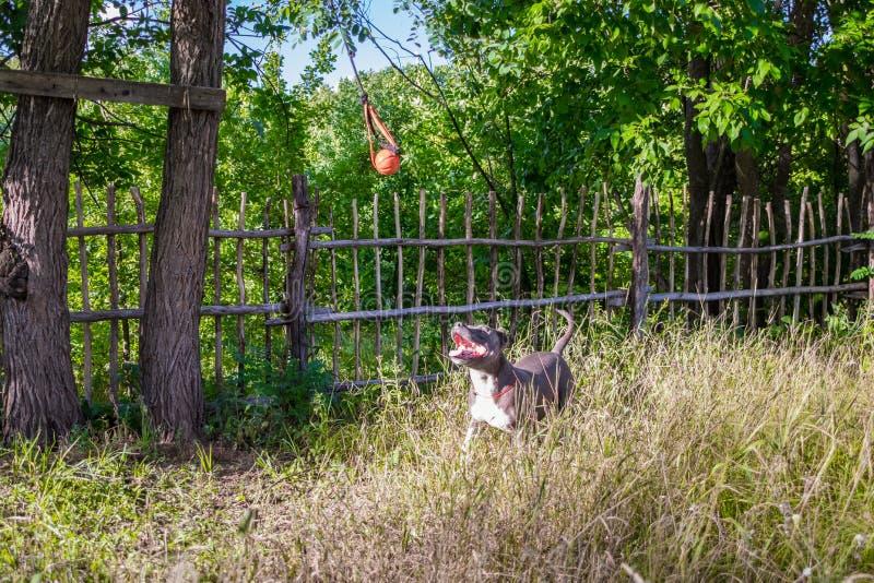 Hunde Staffordshires Terrier werden und Weg ausgebildet lizenzfreie stockfotos