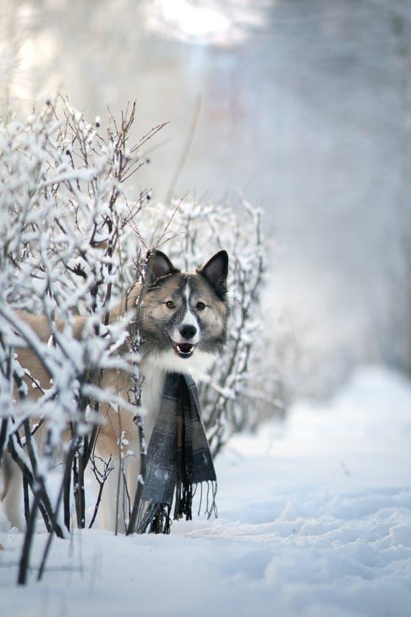 Hunde tragen Schal im Winter stockfoto