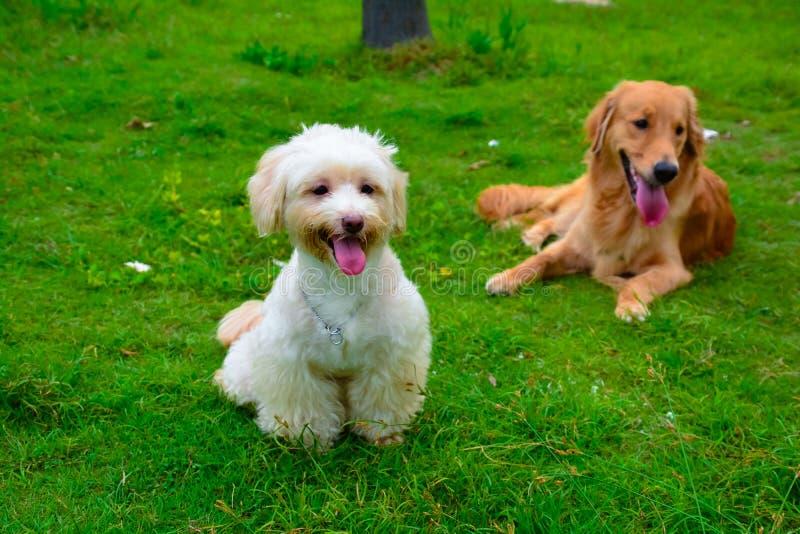 Hunde- und golden retriever-Hund Havanese lizenzfreie stockfotografie