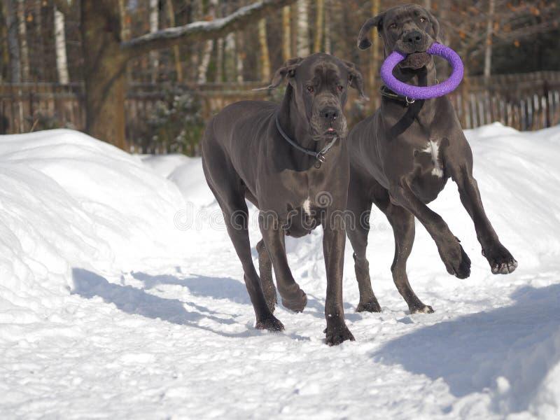 Hunde züchten die blaue Farbe der Deutschen Dogge, die mit dem Kragen-Abziehvorrichtungs-Spielzeug für Hunde spielt stockbilder