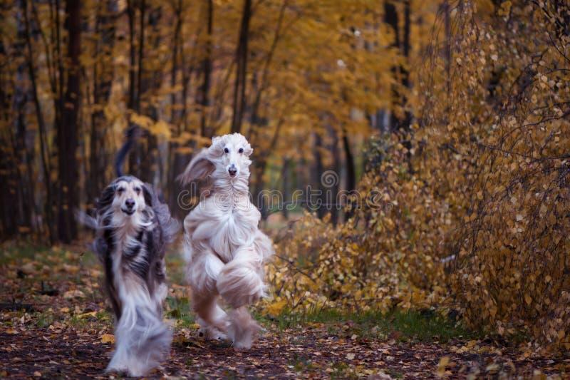 Hunde, zwei schöne Afghanen lizenzfreies stockbild