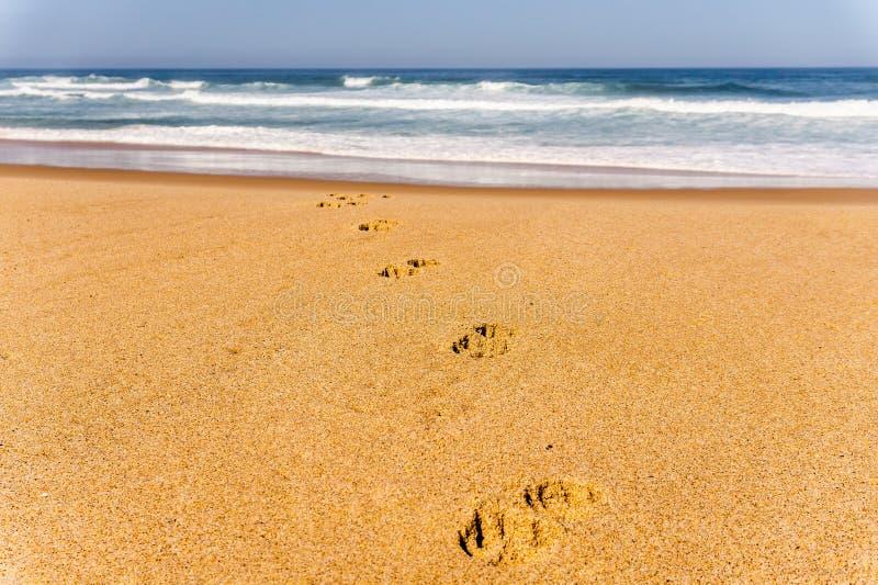 Hundeabdruckbahn auf sandigem Strand von Atlantik-Ufer stockfotografie