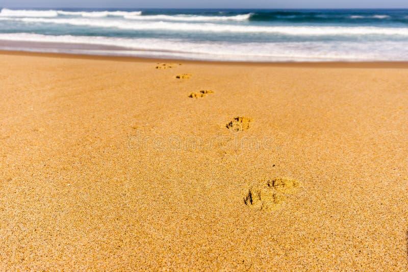 Hundeabdruckbahn auf sandigem Strand von Atlantik-Ufer in Portugal stockfotografie