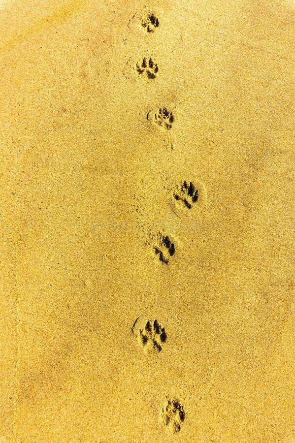 Hundeabdruckbahn entlang einem sandigen Strand stockbilder
