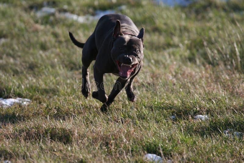 Hundeangriff! lizenzfreies stockbild
