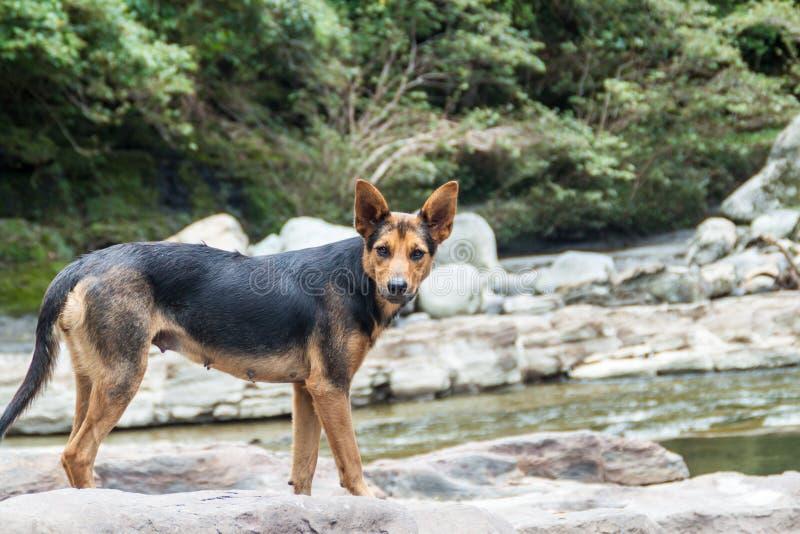 Hundeaufenthalte an EL Estrecho, verengt vom Fluss Magdalena in Colomb lizenzfreie stockfotos
