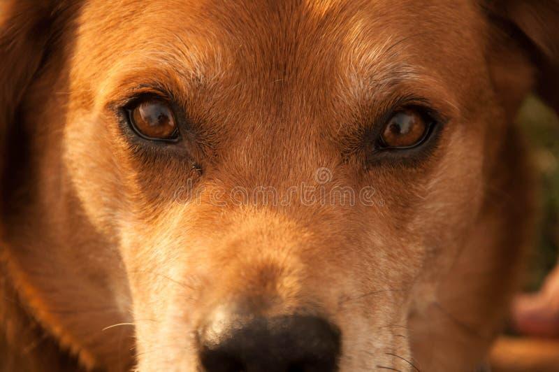 Hundeaugen stockfotografie