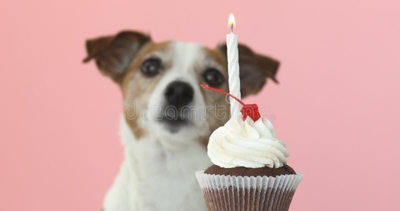 Hundeblick Jacks Russell auf Kerze im Kuchen lizenzfreie stockfotografie