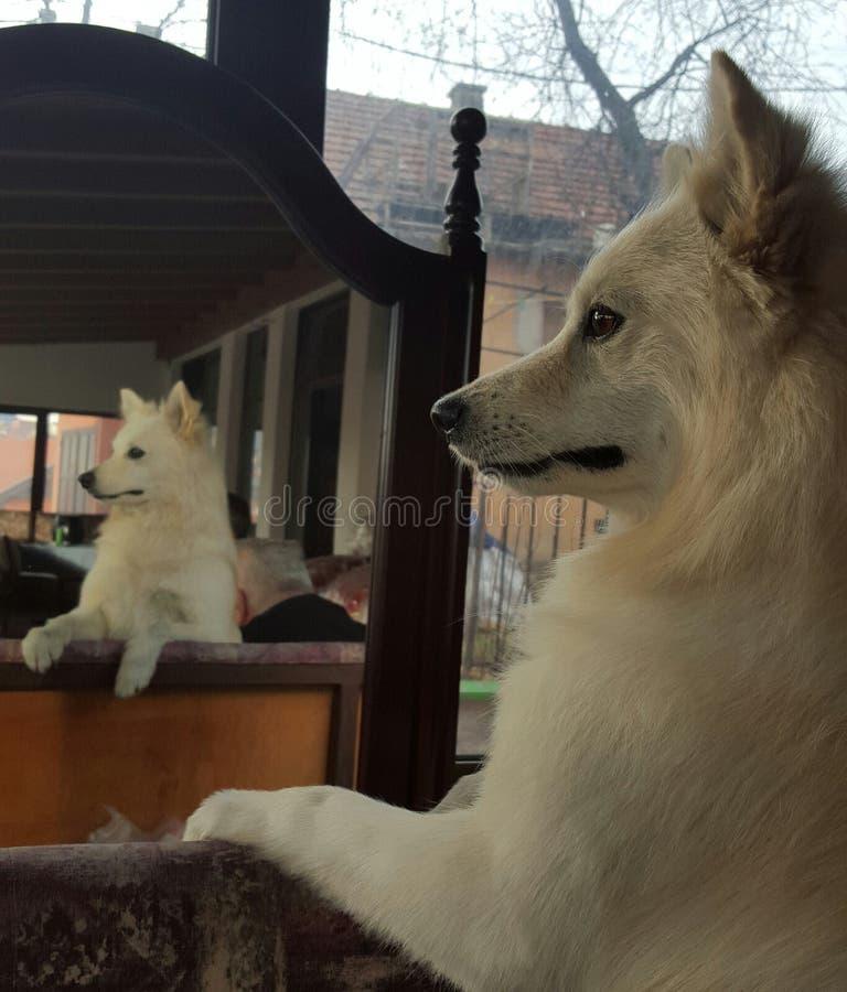 Hundedeutscher Spitz stockfoto