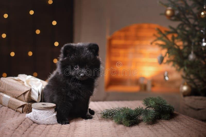 Hundedeutsches pomeranian Porträt Guten Rutsch ins Neue Jahr, Weihnachten, Haustier im Raum der Weihnachtsbaum stockbilder