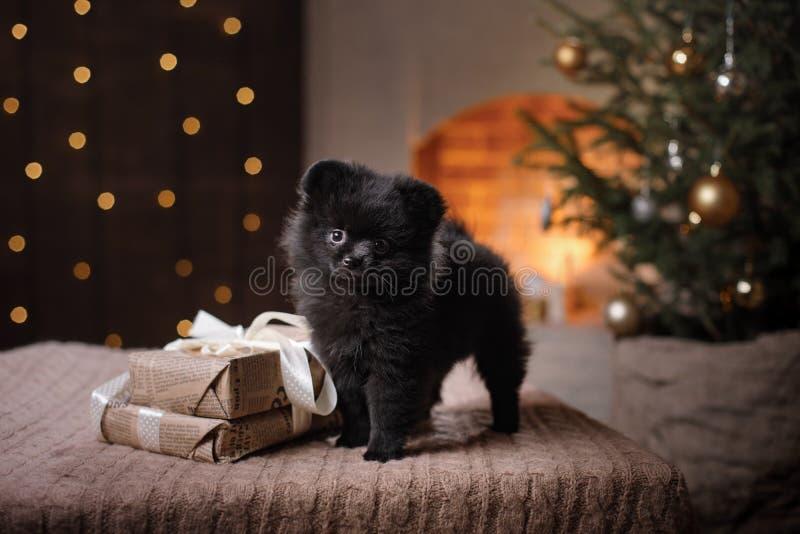 Hundedeutsches pomeranian Porträt Guten Rutsch ins Neue Jahr, Weihnachten, Haustier im Raum der Weihnachtsbaum lizenzfreies stockbild