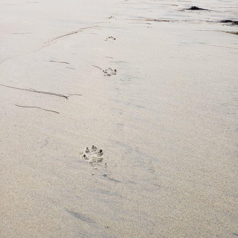 Hundedrucke auf einem nass Sandstrand lizenzfreies stockbild