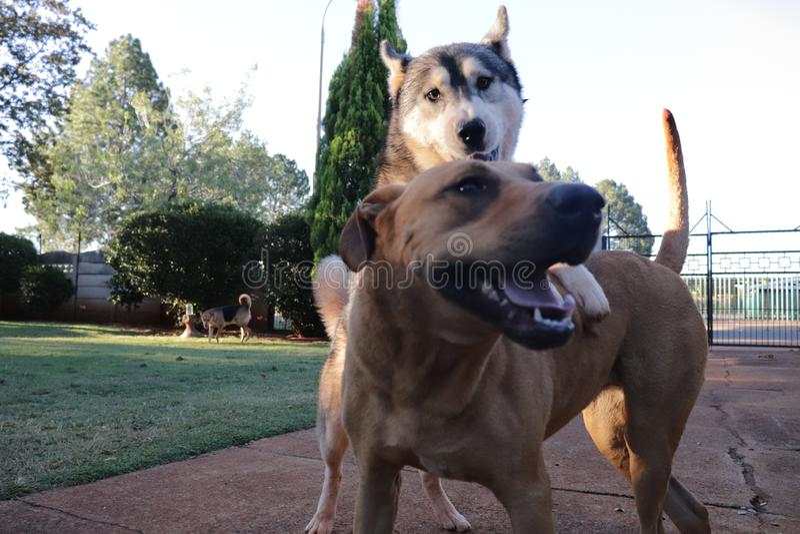 Hundefreizeit mit Husky On Top Of Ridgeback lizenzfreie stockbilder