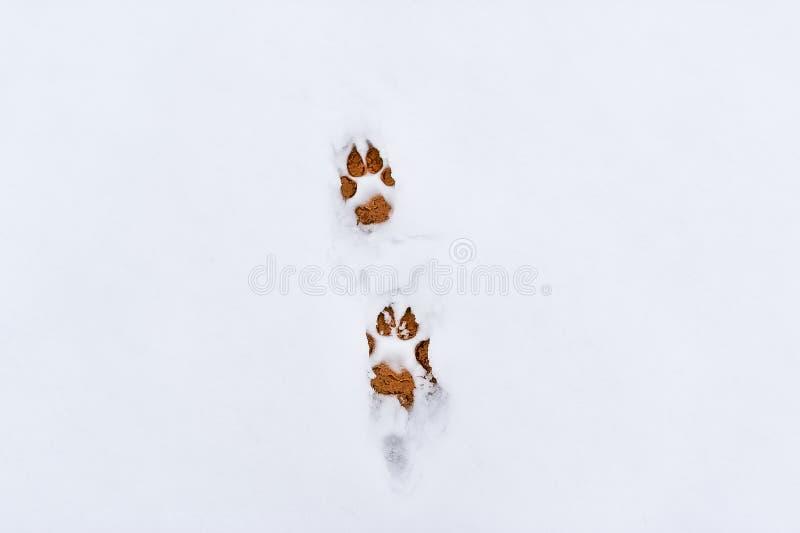 Hundefußdrucke im Schnee stockfotos