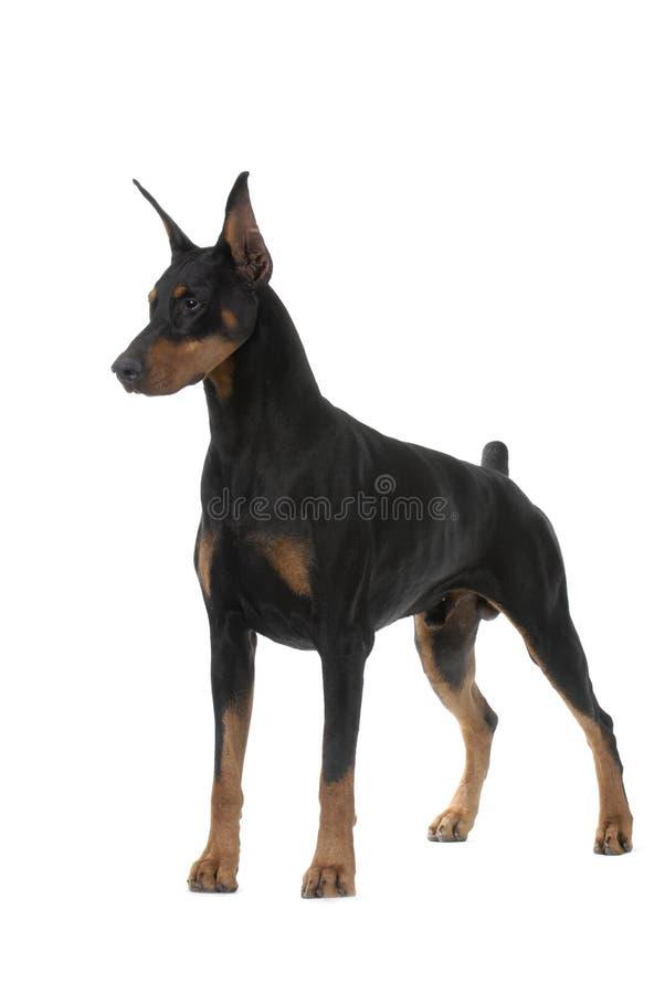Hundehaustier DobermannPinscher lizenzfreie stockfotografie