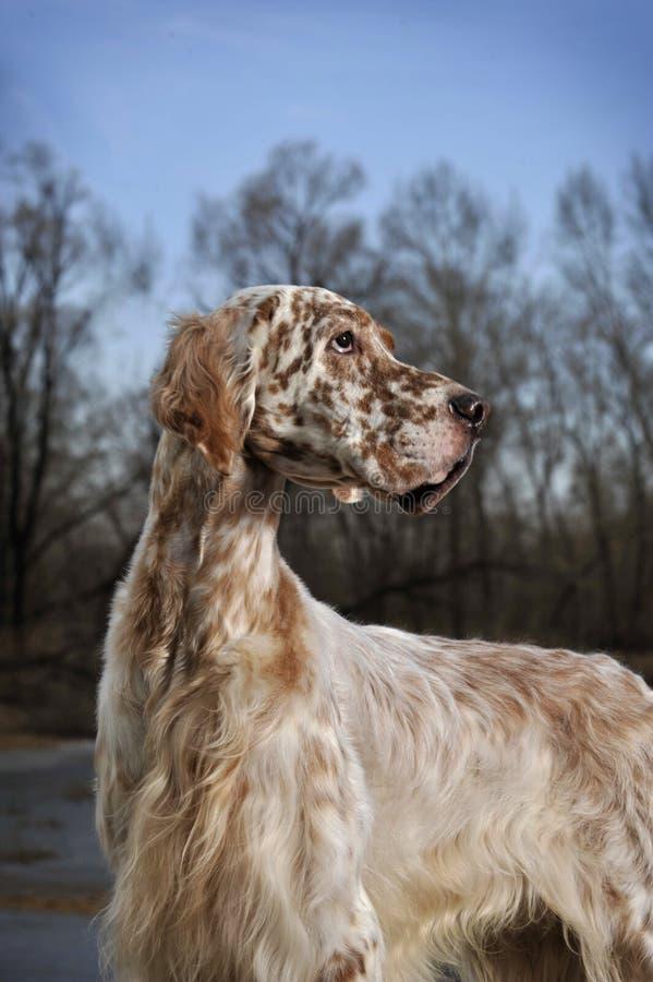 Hundehaustier englischer Setzer stockfotografie