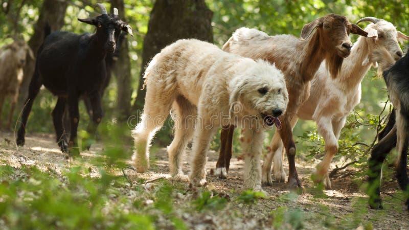 Hundein herden leben lizenzfreie stockfotografie