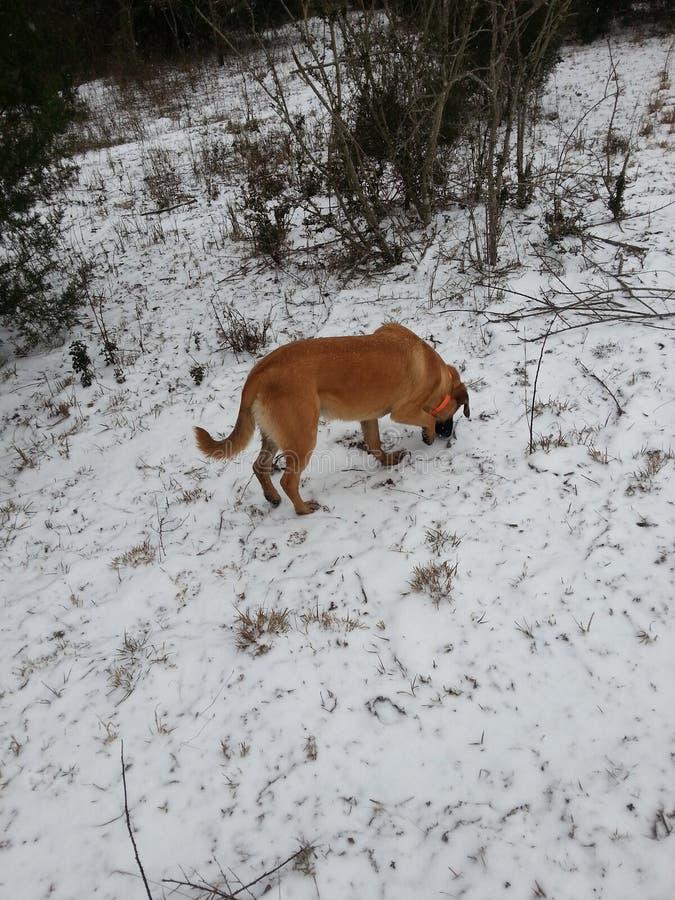 Hundejagd auf einem Snowy-Gebiet stockfoto