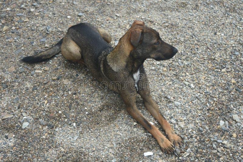 Hundejagdhund Arubian Cunucu, der aus den Grund legt lizenzfreies stockbild